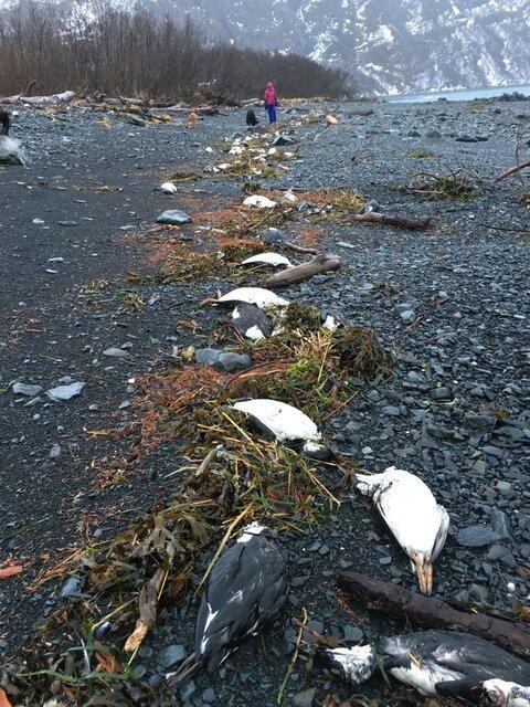 احتمال تلف شدن یک میلیون پرنده دریایی به دلیل گرما