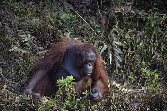 صحنه ای زیبا از مهربانی یک اورانگوتان
