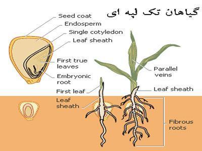 گیاهان تک لپه چه خصوصیاتی دارند؟ (آشنایی با گیاهان تک لپه ای)