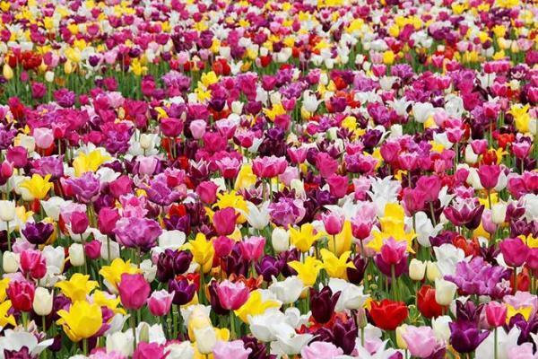 گالری عکس گل لاله؛ 41 عکس زیبا برای پروفایل و بک گراند گوشی