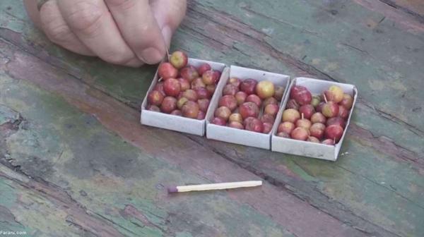 سیب هایی که از گیلاس کوچکترند!